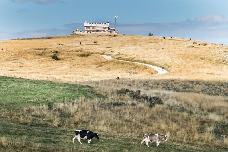 Góra odwrót z pastwiskowymi krowami fotografia royalty free