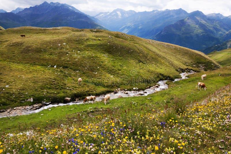 Góra paśniki i Dzicy kwiaty w Austria zdjęcie royalty free