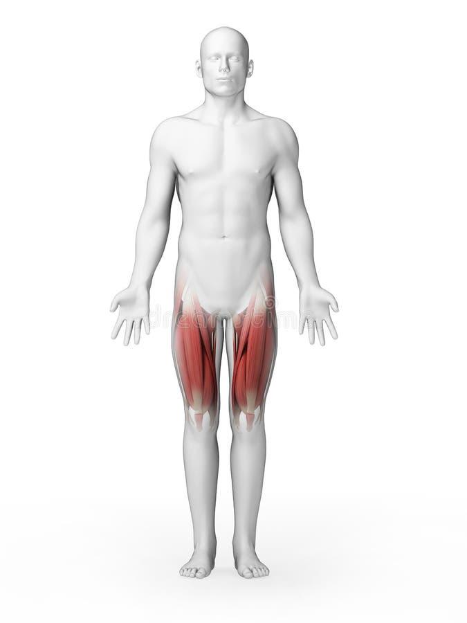 Górni noga mięśnie royalty ilustracja