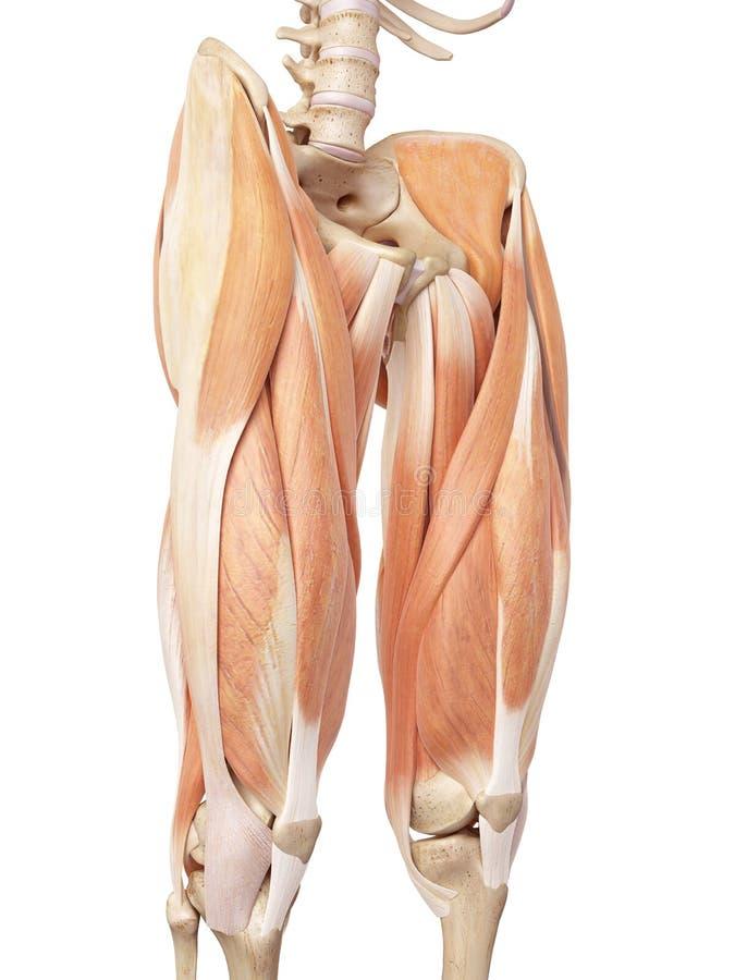 Górni noga mięśnie ilustracji