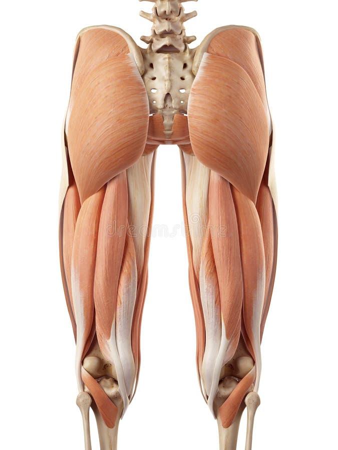 Górni noga mięśnie ilustracja wektor