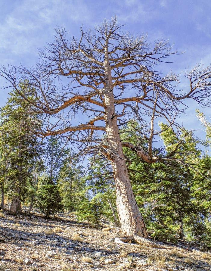 Górny Bristlecone pętli ślad, Mt Charleston, Nevada obraz stock