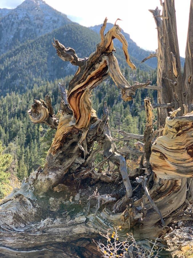 Górny Bristlecone pętli ślad, Mt Charleston, Nevada obrazy stock