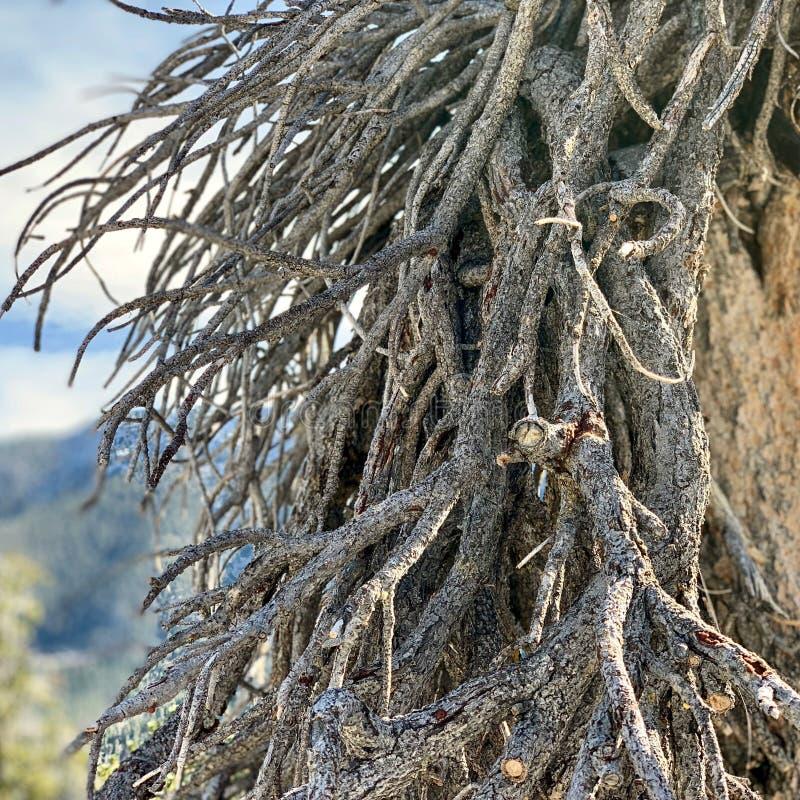 Górny Bristlecone pętli ślad, Mt Charleston, Nevada zdjęcia royalty free