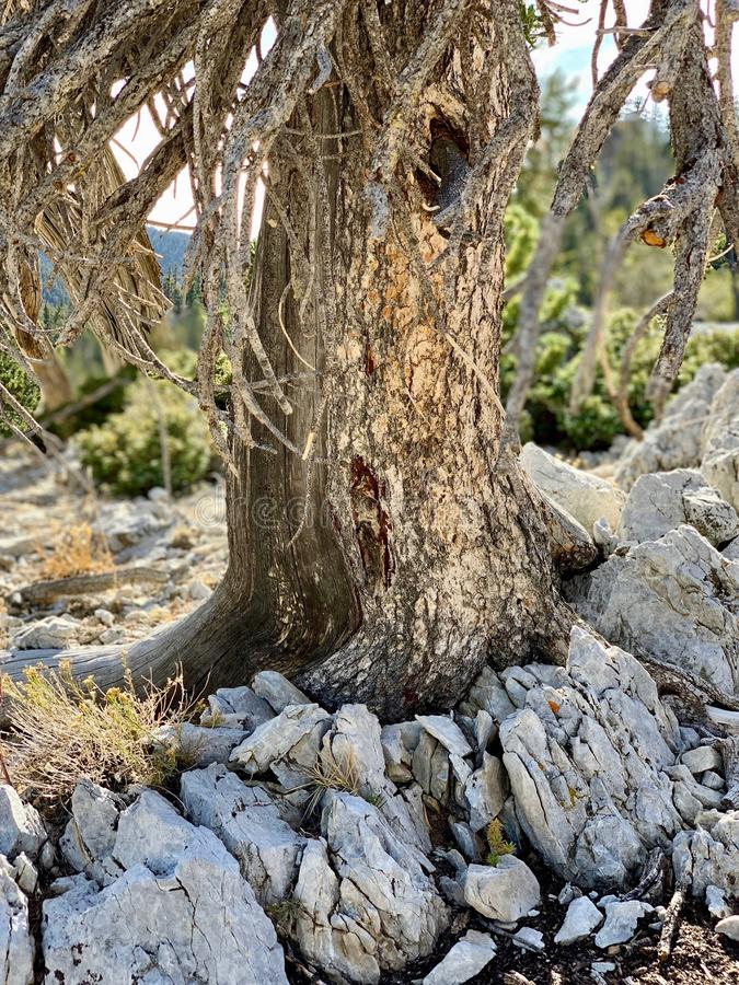 Górny Bristlecone pętli ślad, Mt Charleston, Nevada fotografia stock