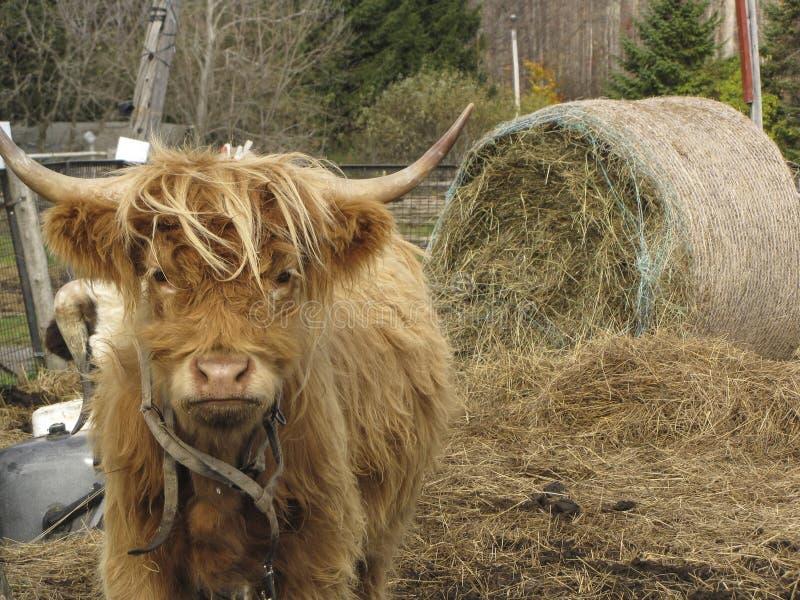 Górska Czerwona krowa zdjęcia stock
