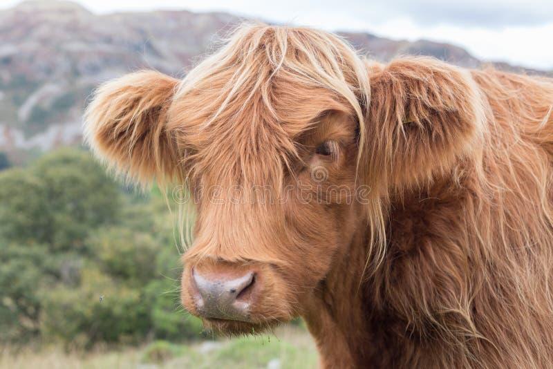 Górska krowa fotografia stock