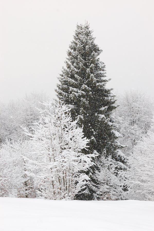 góry duży sosna Ukraine obraz stock