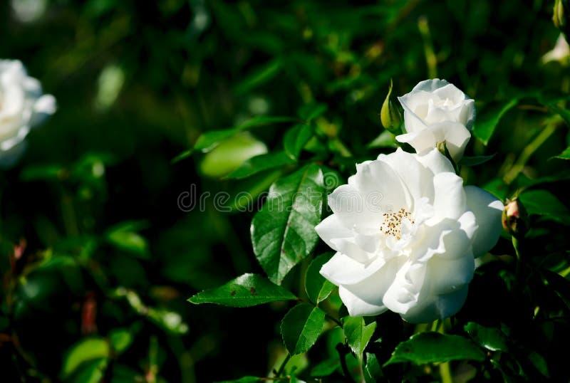 Góry lodowa Floribunda Rosa Korbin kwiatu rośliny Różany kwiat obrazy stock