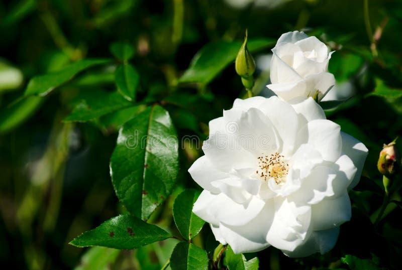 Góry lodowa Floribunda Rosa Korbin kwiatu rośliny Różany kwiat zdjęcia stock