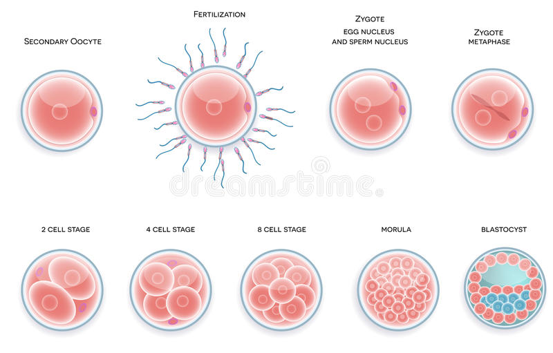 Gödslad cellutveckling. Etapper från befruktningkassalådamoru vektor illustrationer