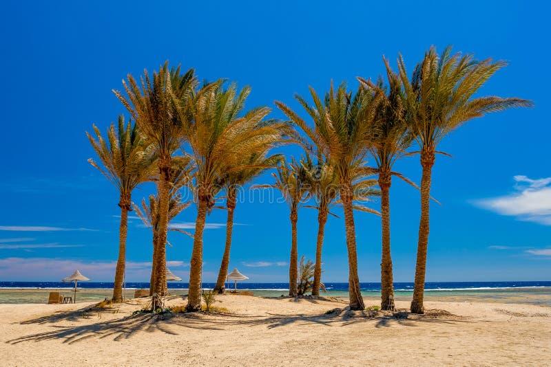 Gömma i handflatan dungen på stranden vid Röda havet i Egypten royaltyfri foto