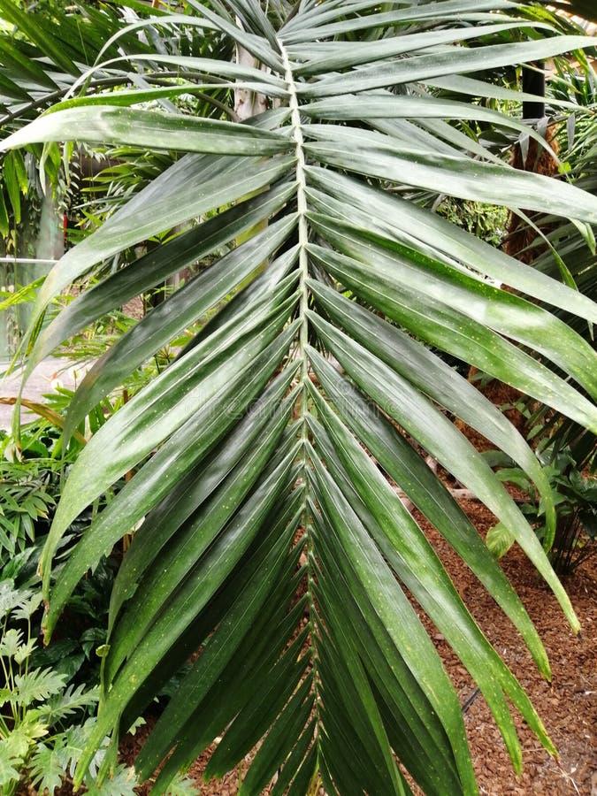 Gömma i handflatan härligt av gröna tropiska sidor för olik design fotografering för bildbyråer