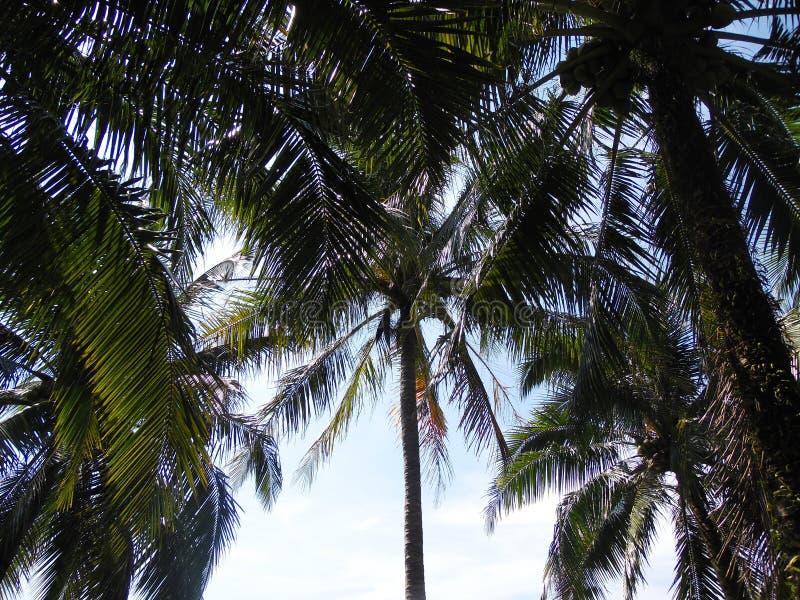 Gömma i handflatan kokospalmen, exotiskt soligt landskap med himmelsikt Grön filial med sidor, blå himmel med den ljusa solen royaltyfri foto