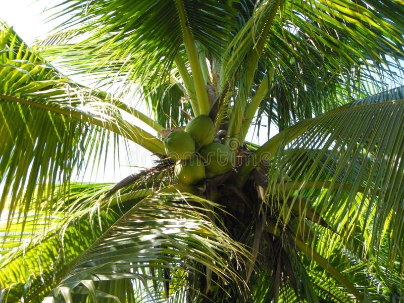 Gömma i handflatan kokospalmen, exotiskt soligt landskap med himmelsikt Grön filial med sidor, blå himmel med den ljusa solen arkivfoto