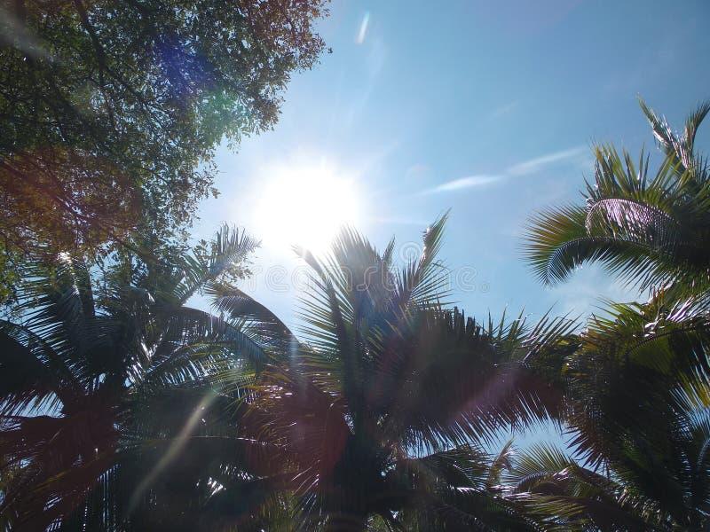 Gömma i handflatan kokospalmen, exotiskt soligt landskap med himmelsikt Grön filial med sidor, blå himmel med den ljusa solen royaltyfri fotografi