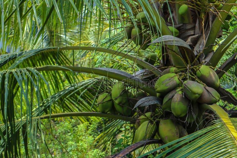 Gömma i handflatan med gröna kokosnötter royaltyfria bilder