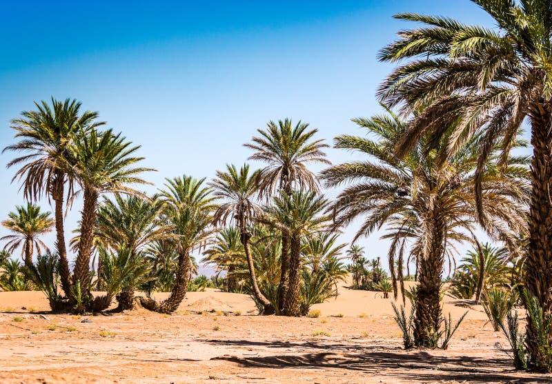 Gömma i handflatan oasen i öken nära till byn Mhamid i Marocko arkivbild