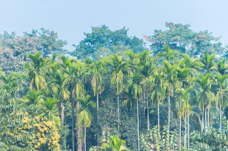 Gömma i handflatan och träd i indisk djungel i den dimmiga morgonen royaltyfri bild