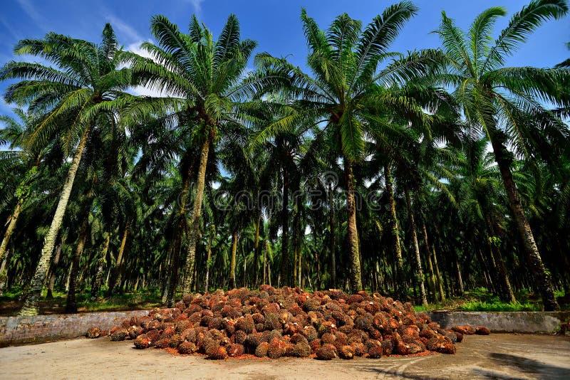 Gömma i handflatan oljeproduktion i Malaysia fotografering för bildbyråer