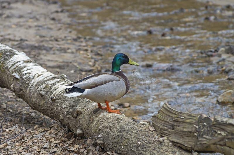 Gör gräsandet att ducka royaltyfri foto