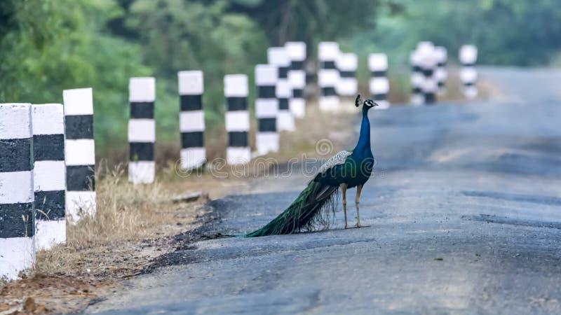 Gör vägen för löst liv - påfåglar på vägarna av lantliga Indien royaltyfria foton