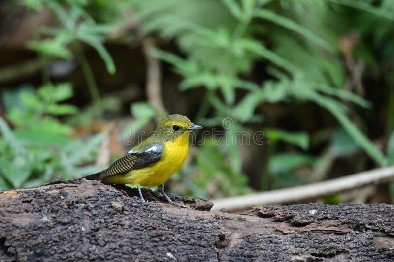 Göra grön den drog tillbaka flugsnapparen, den flyttande fågeln tittar in Vietnam royaltyfri bild