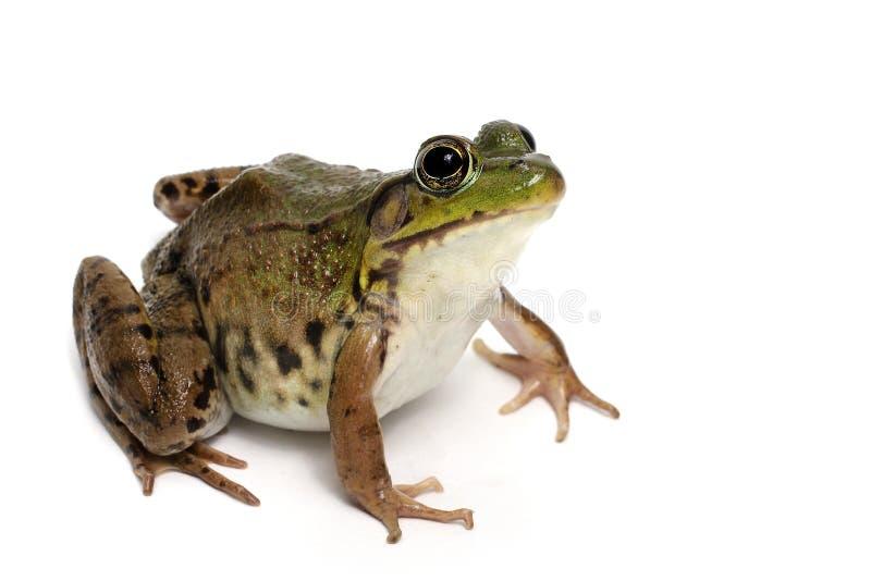 Göra grön grodan (ranaen Clamitans) royaltyfri fotografi