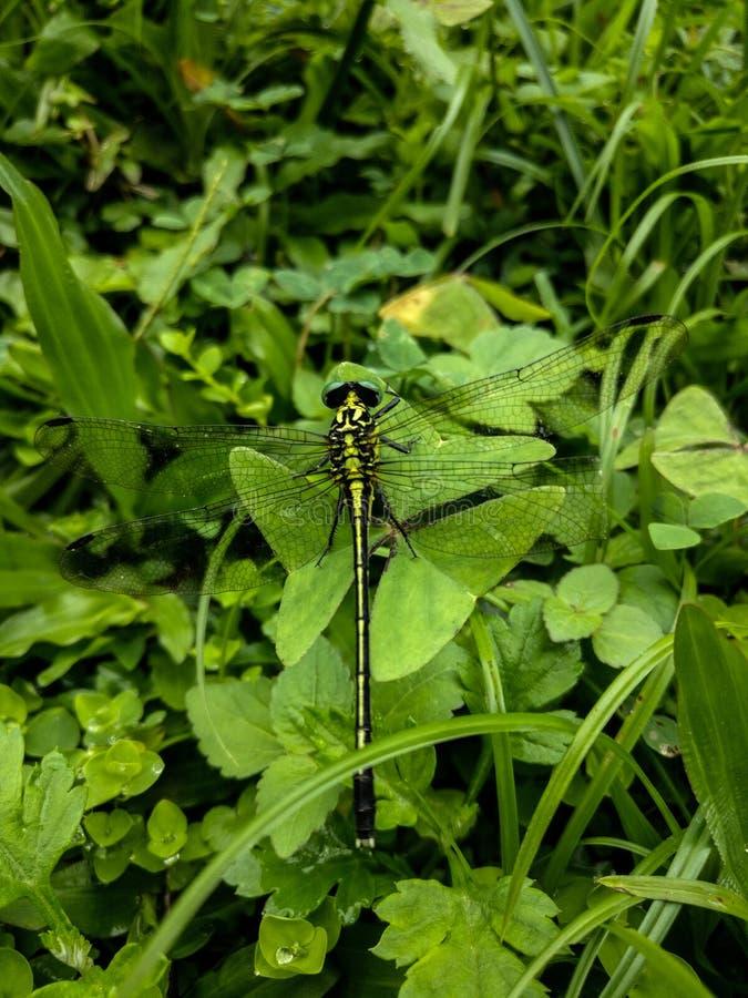 Göra grön sländan Kamouflage i natur arkivbild