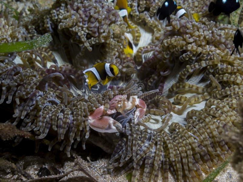 Göra perfekt undervattens- symbios mellan clownfish, porslinkrabban och anemonen, Mocambique, Afrika royaltyfria bilder
