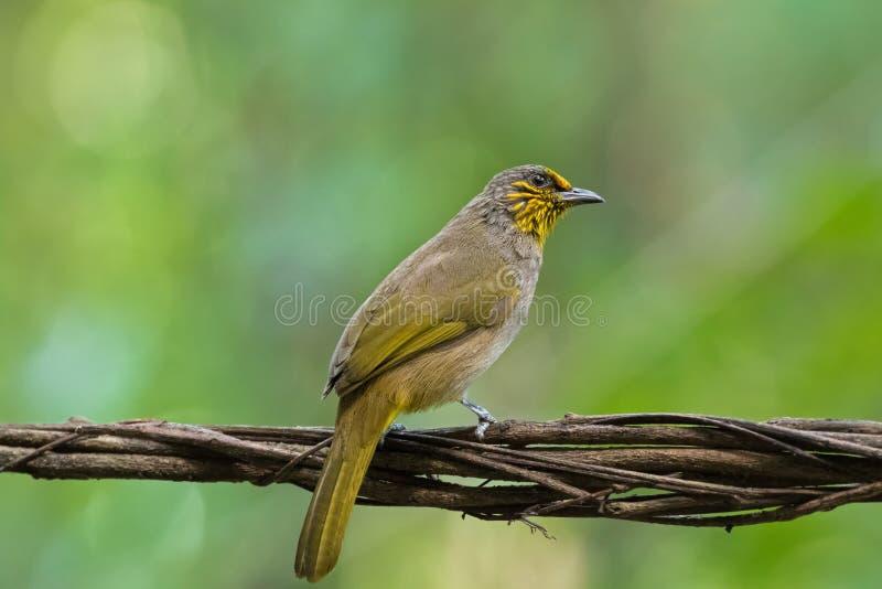 Göra randig throated, throated bulbulfågel för strimma i gult sätta sig arkivfoton