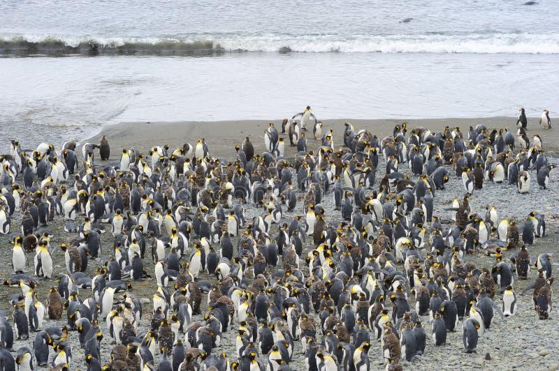 Göra till kung den Penguin (Aptenodytespatagonicus) kolonin på stranden royaltyfri foto