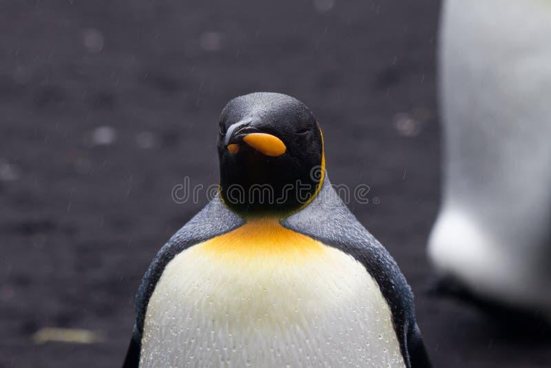 Göra till kung Penguin (Aptenodytespatagonicus) i regnet royaltyfria bilder