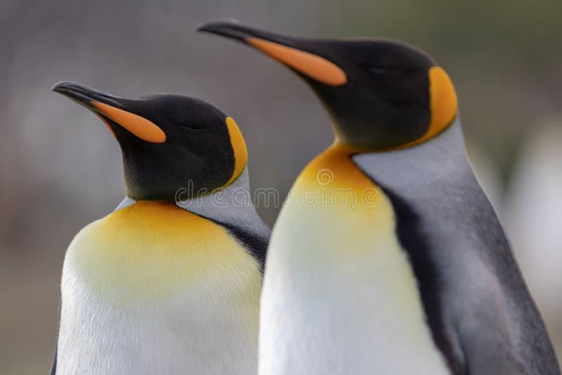 göra till kung pingvinet En closeup av konungpingvins huvud arkivfoto