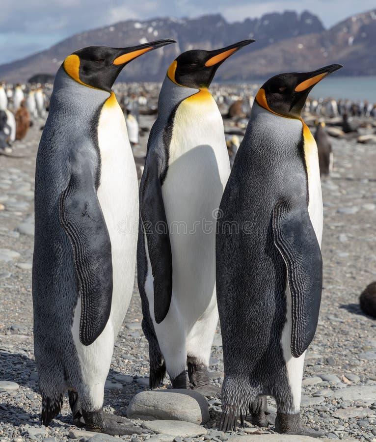 göra till kung pingvinet Tre konungpingvin som umgås på en strand arkivfoton