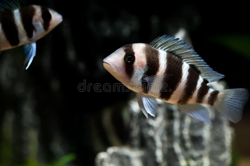 görad randig fisk arkivfoton