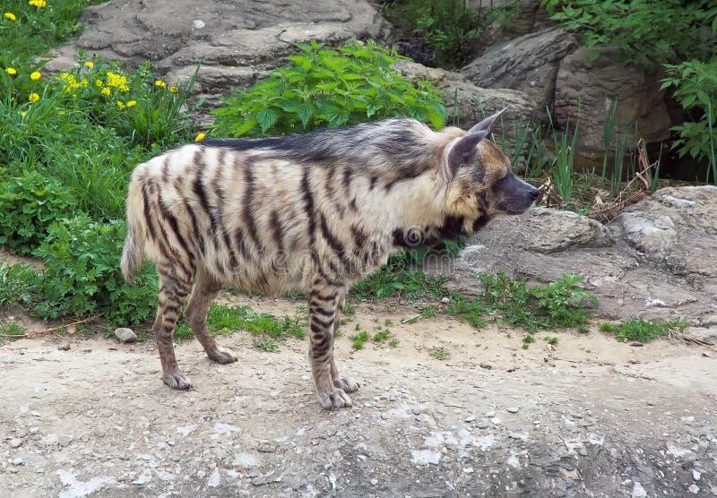 görad randig hyena arkivfoton