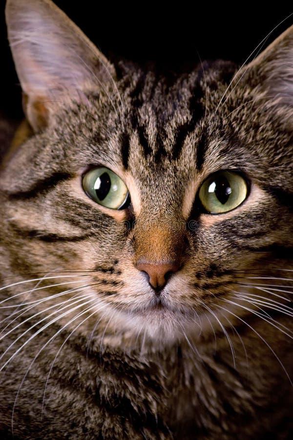 görad randig katt arkivbild