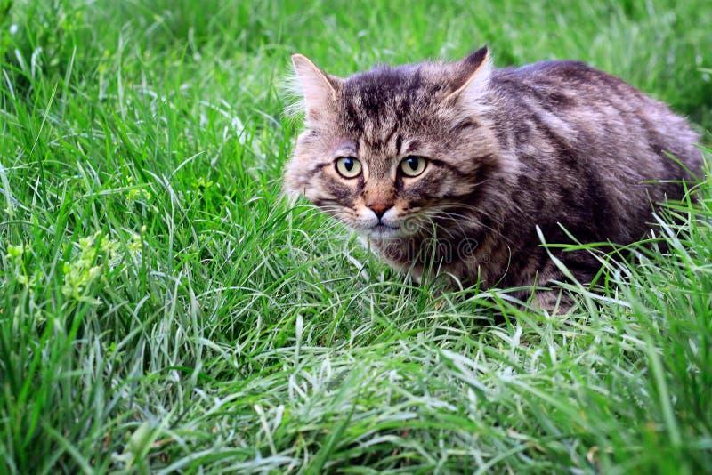 görad randig katt jägare foto arkivfoto