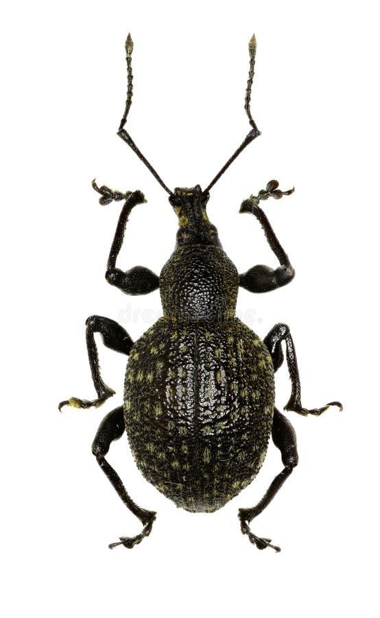 Gürteltier-Rebrüsselkäfer auf weißem Hintergrund stockfotos