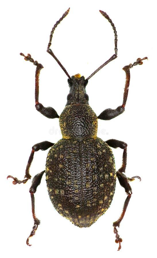 Gürteltier-Rebrüsselkäfer auf weißem Hintergrund lizenzfreie stockbilder