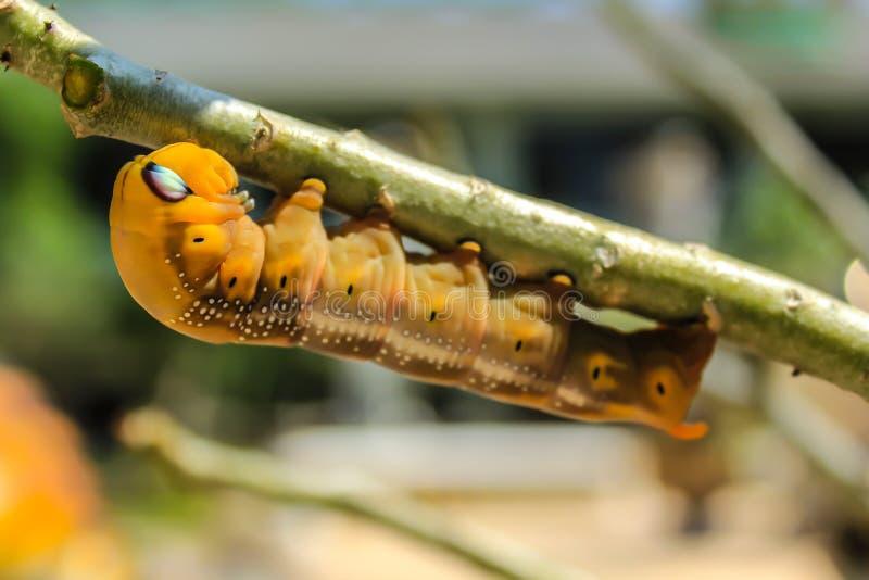 Gąsienica na gałąź obraz royalty free