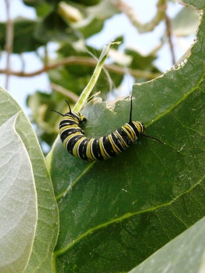 Gąsienicowy czarny i kolor żółty motyli monarcha obrazy royalty free