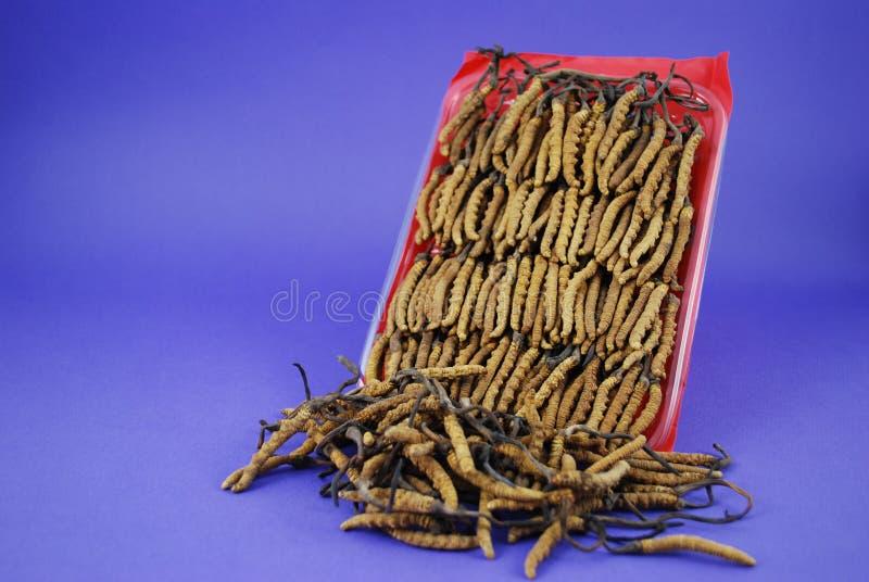 Gąsienicowy grzyb obrazy royalty free