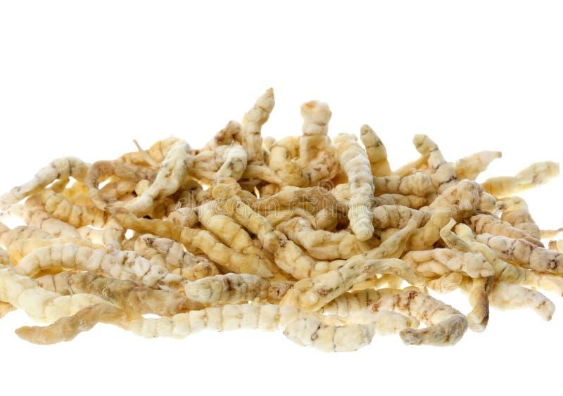 gąsienicowy grzyb odizolowywał obraz royalty free