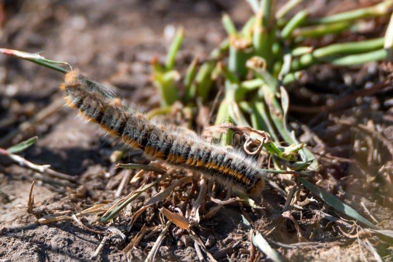 Gąsienicowy Lasiocampa trifolii na ziemi obrazy royalty free