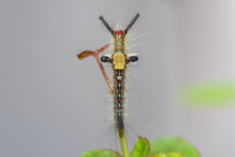 Gąsienicowy lub Kosmaty Caterpillar fotografia stock