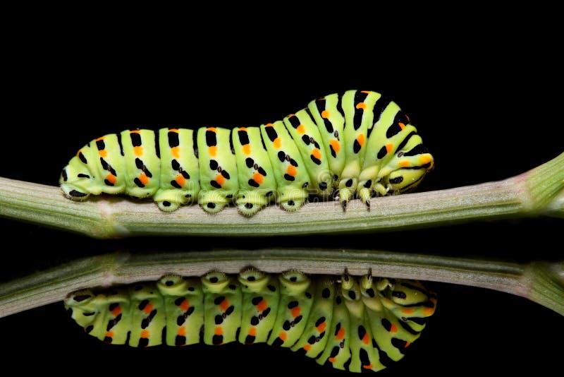 Gąsienicowy motyli mahaon zakończenie na czarnym tle z niezwykłym odbiciem obrazy stock