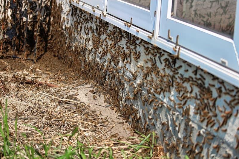 Gąsienicy wspinają się pod okno podczas infestation zdjęcie stock