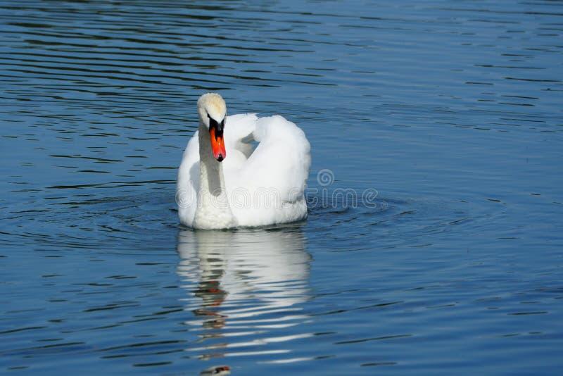 Gąska biały upierzenie, opuszcza brać vaiven wody, lerida zdjęcia royalty free
